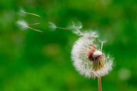 dandelion seeds blown into the air